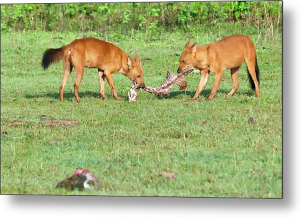 Wild Dogs Playing With A Carcass Metal Print