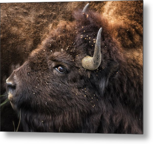 Wild Eye - Bison - Yellowstone Metal Print