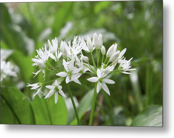 Wild Garlic (allium Ursinum) Metal Print by Chris Dawe/science Photo Library