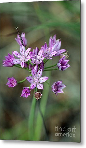 Wild Garlic - Allium Drummondii Metal Print