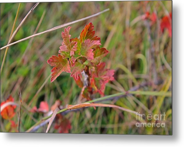 Wild Gooseberry Leaves Metal Print