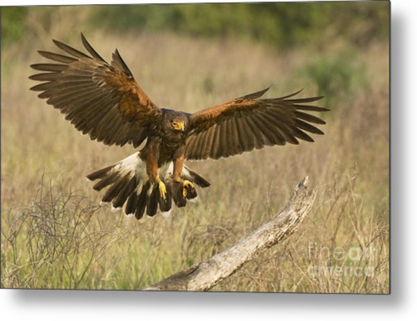 Metal Print featuring the photograph Wild Harris Hawk Landing by Dave Welling