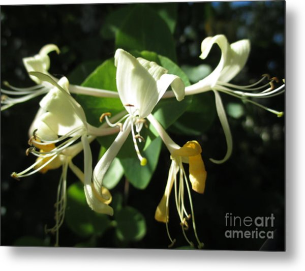 Wild Honeysuckle Metal Print