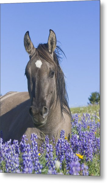 Wild Horse Foal In The Lupines Metal Print