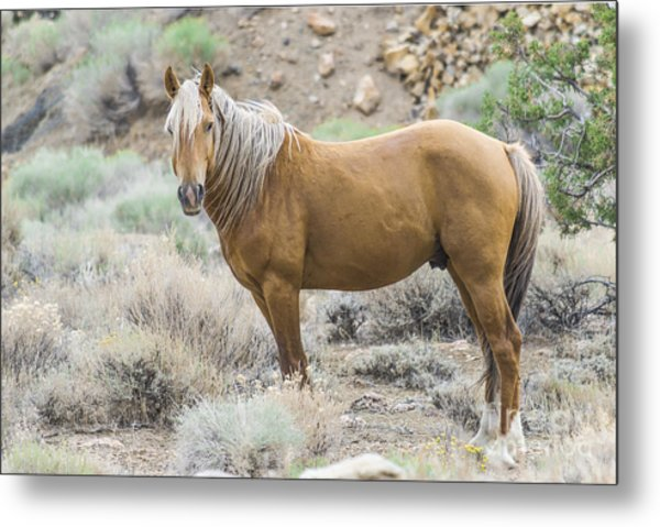 Wild Mustang Stallion Metal Print