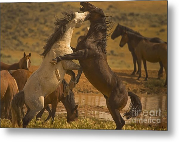 Wild Mustang Stallions - Signed Metal Print