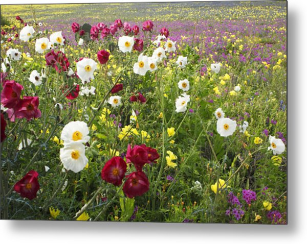 Wild Poppies South Texas Metal Print