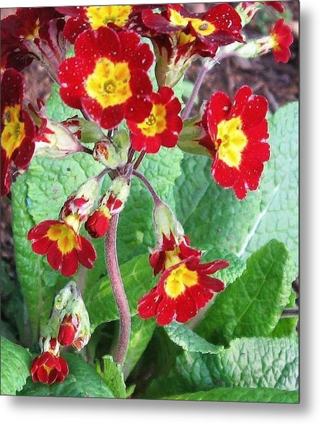Metal Print featuring the photograph Wild Primroses by Deb Martin-Webster