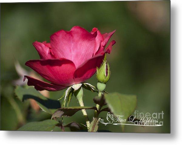 Wild Rose 20120615_205a Metal Print