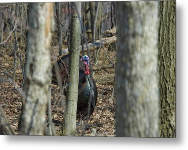 Wild Turkey 1 Metal Print
