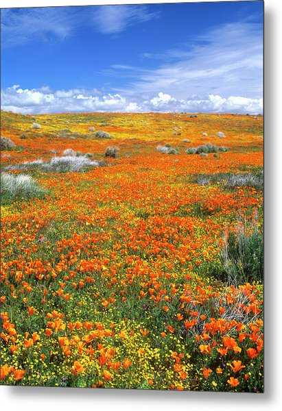 Wildflowers At The California Poppy Metal Print by John Alves
