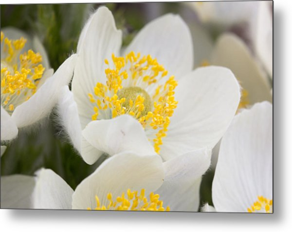 Wildflowers Mt Rainier National Park Metal Print