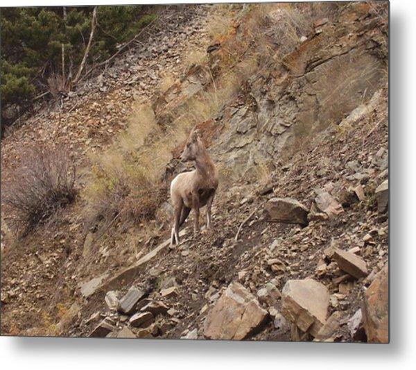 Wildlife Of Montana Metal Print by Yvette Pichette
