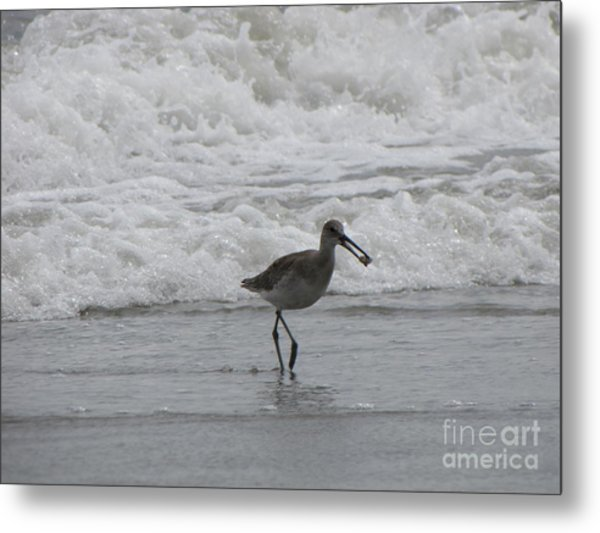Willet With A Catch Metal Print by Gayle Melges