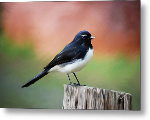 Willy Wagtail Austalian Bird Painting Metal Print