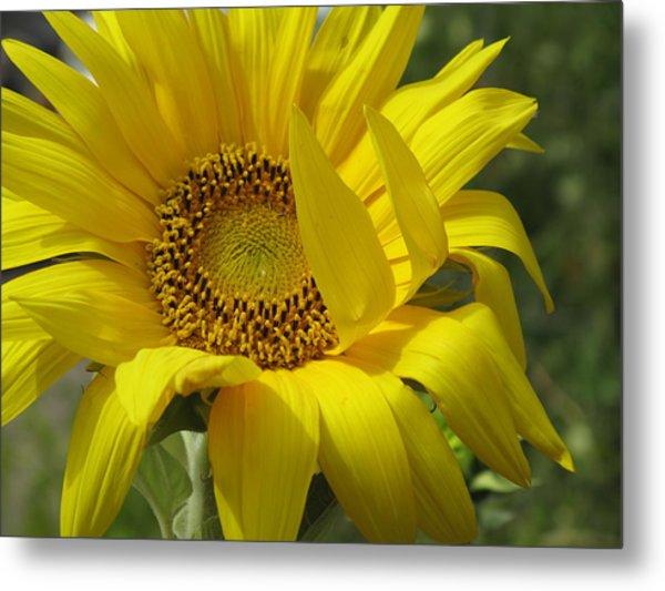 Windblown Sunflower One Metal Print