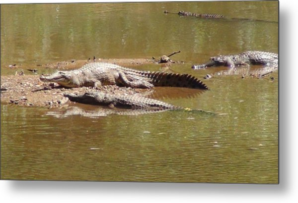 Windjana Crocodiles Metal Print