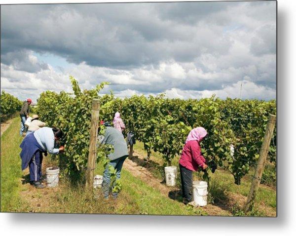 Wine Grape Harvest Metal Print