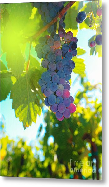 Wine Grapes  Metal Print