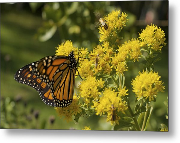 Wings - Monarch On Goldenrod Metal Print