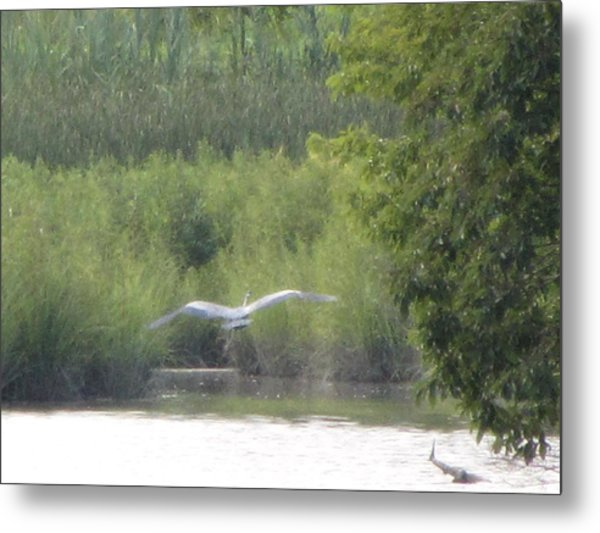 Wings Wide Open Great Blue Heron Mighty Sight Metal Print by Debbie Nester