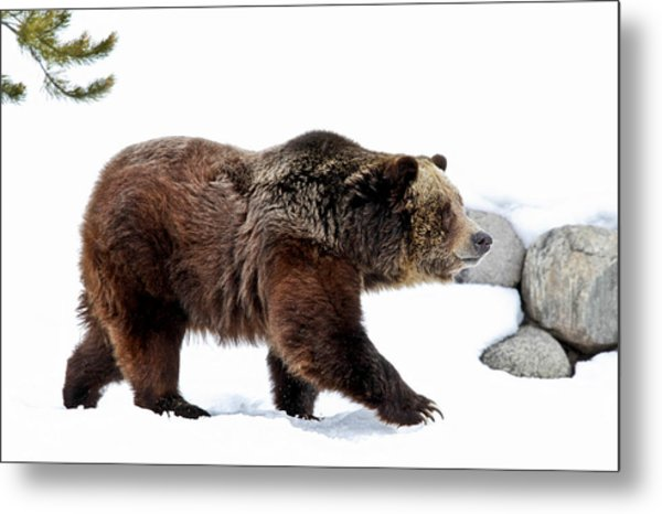 Winter Bear Walk Metal Print