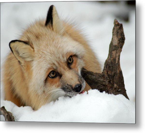 Winter Fox 2 Metal Print
