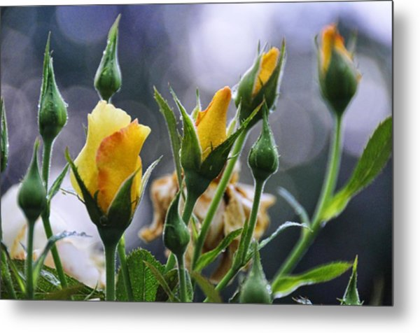 Winter Roses Metal Print by Jan Amiss Photography
