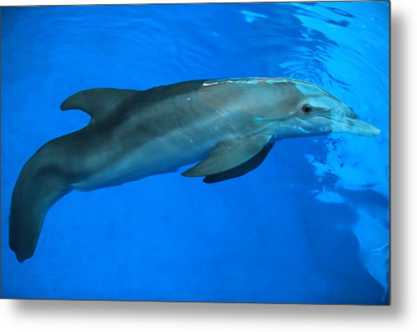 Winter The Dolphin Metal Print