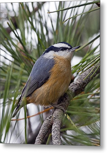 Winter Visitor - Red Breasted Nuthatch Metal Print