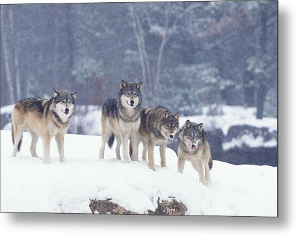 Winter Wolf Pack Metal Print