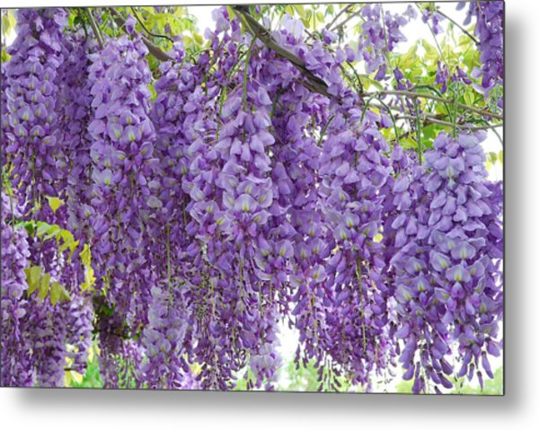 Metal Print featuring the photograph Wisteria Full Bloom by Michael Hubley