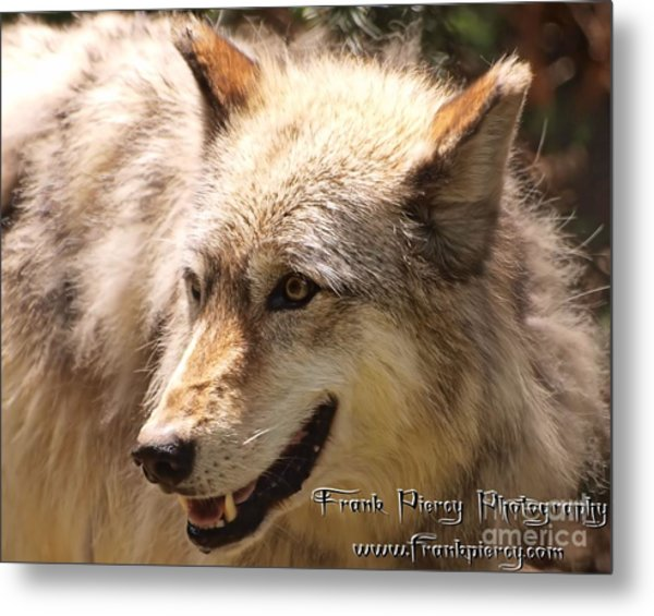 Wolf Close Up Metal Print by Frank Piercy