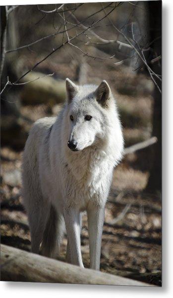 Timber Grey Wolf Metal Print