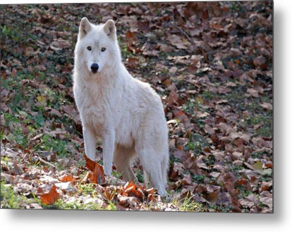 Wolf In Autumn Metal Print