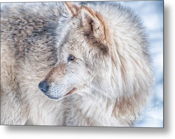 Wolf In Disguise Metal Print