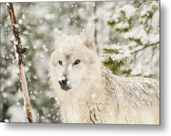 Wolf In Snow Metal Print