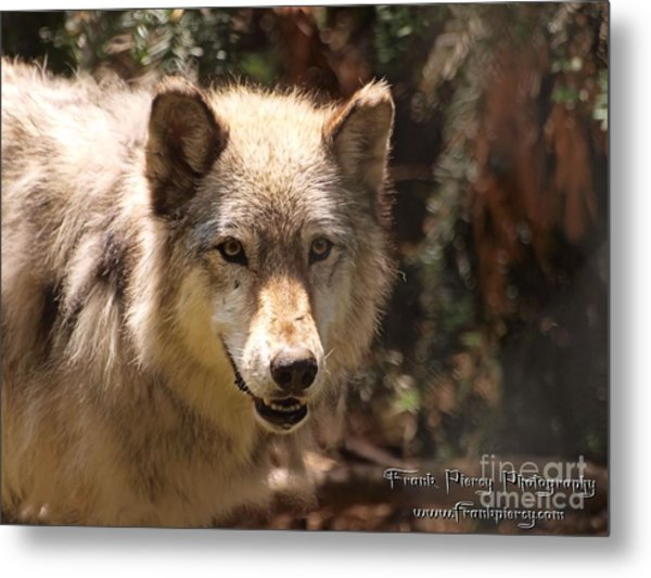 Wolf Intently Metal Print by Frank Piercy