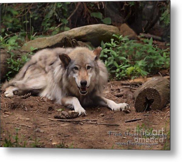 Wolf Resting Metal Print by Frank Piercy