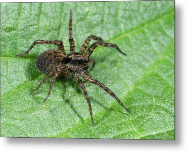 Wolf Spider Metal Print by Nigel Downer