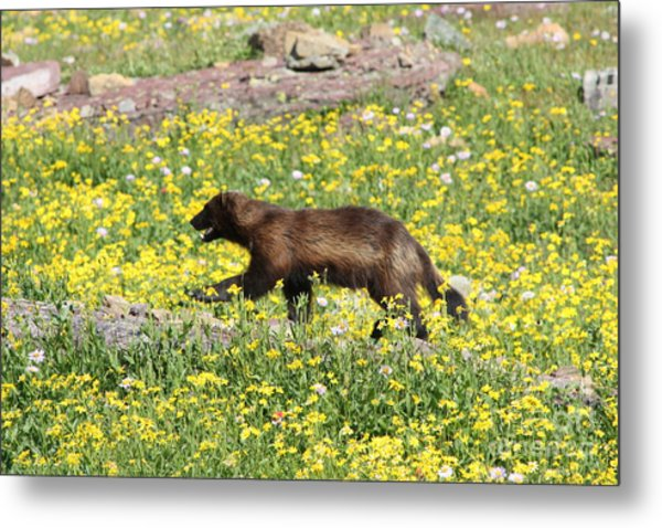 Wolverine Metal Print by Dave Knoll