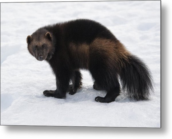 Wolverine On Snow Metal Print