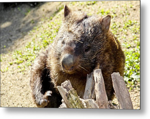Metal Print featuring the photograph Wombat Scratching by Debbie Cundy
