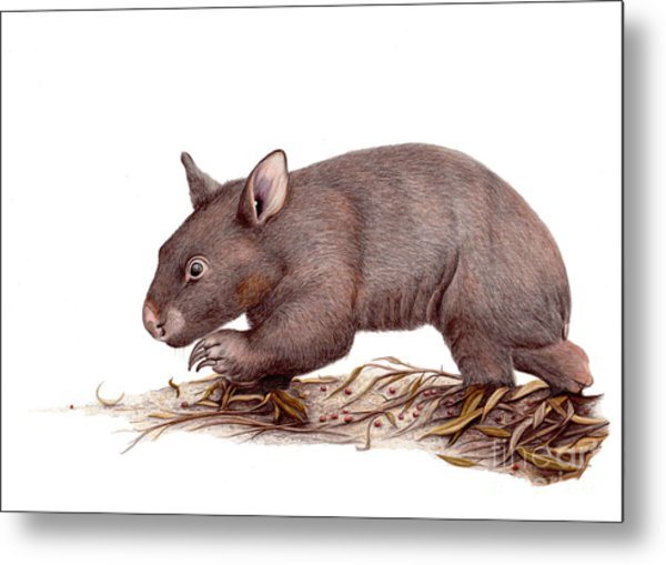 Wombat Walk Metal Print by Susan Pope