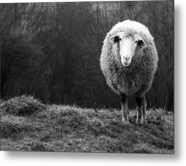 Wondering Sheep Metal Print