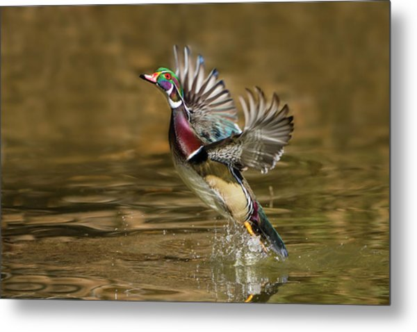Wood Duck (aix Sponsa Metal Print by Larry Ditto