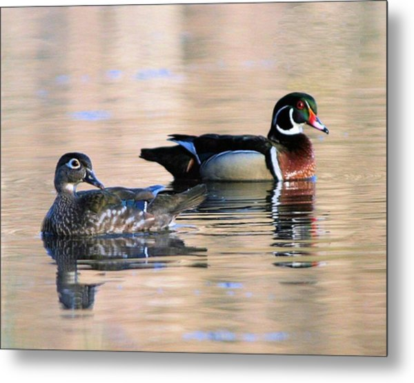 Wood Duck Pair In Kettles Metal Print