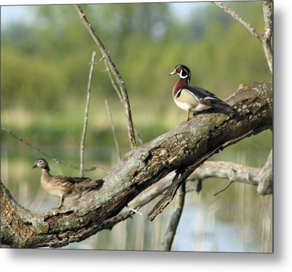 Wood Duck Pair In Tree Metal Print