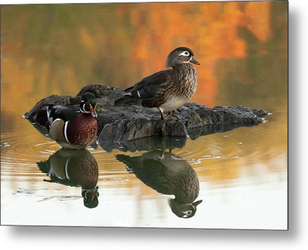 Wood Ducks Metal Print