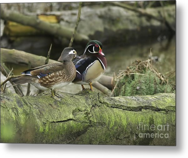 Wood Ducks On Log 4 Metal Print by Sharon Talson